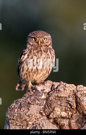 Little owl, Athene noctua, single bird perched on log in evening light, Warwickshire, June 2010 - Stock Photo