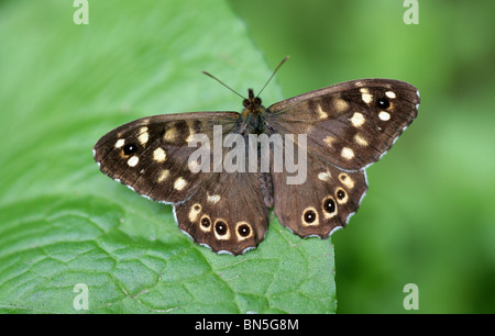 Speckled Wood Butterfly, Pararge aegeria, Nymphalidae - Stock Photo