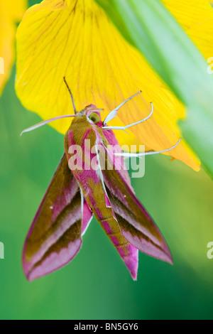 Elephant Hawk Moth; Dielephila elpenor; on iris - Stock Photo