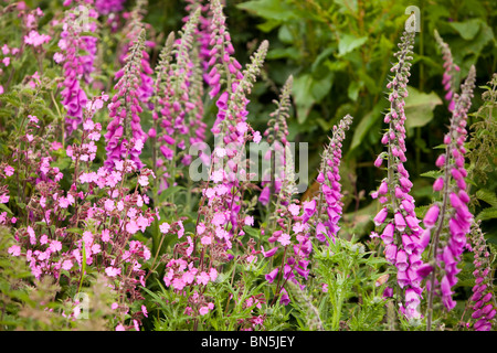 Foxgloves and Red Campion growing on the Cornish coast near Porthcurno, UK. - Stock Photo