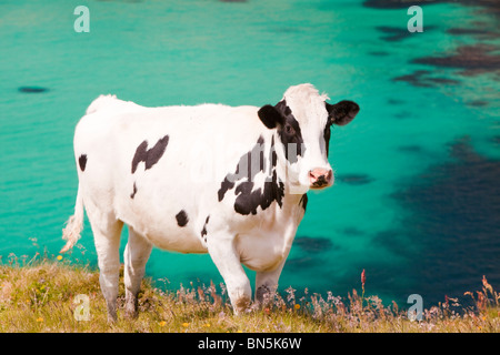 A cow on rough grazing near Gwennap Head, Cornwall, UK. - Stock Photo
