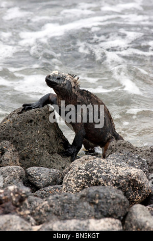 Marine Iguana on rock in Galapagos Islands - Stock Photo