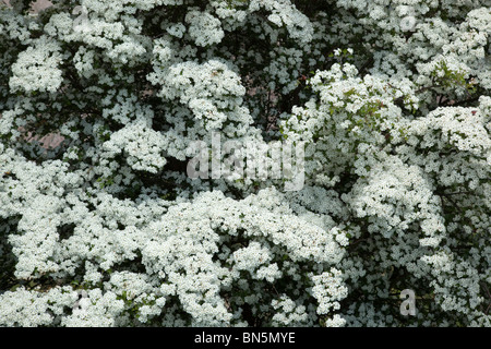 Hawthorn; Crategus monogyna; in blossom; - Stock Photo