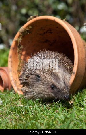 Hedgehog; Erinaceus europaeus; in a plant pot; garden - Stock Photo