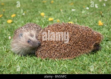 Hedgehog; Erinaceus europaeus; on a garden lawn - Stock Photo