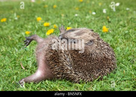 Hedgehog; Erinaceus europaeus; anointing itself - Stock Photo