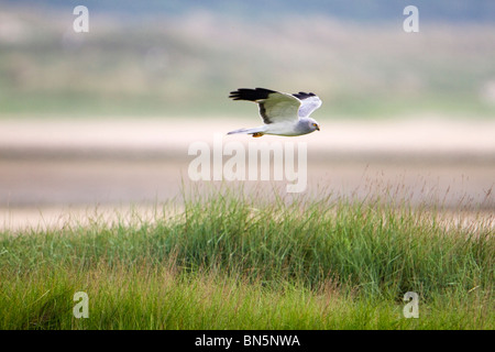 Hen Harrier; Circus cyaneus; male in flight - Stock Photo