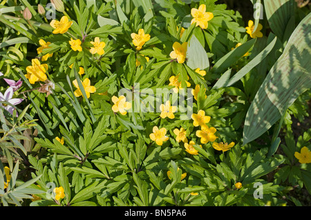 Yellow-flowered Anemone ranunculoides in spring - Stock Photo