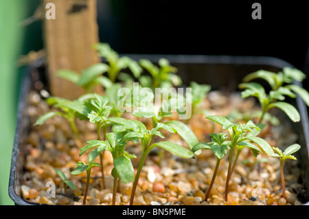 Young tomato seedlings with first pair of true leaves - Stock Photo