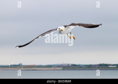 Lesser Black Backed Gull; Larus fuscus; in flight - Stock Photo
