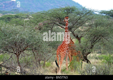 Reticulated Giraffes eating leaves from Acacia trees. Picture taken in Samburu Game Reserve, Kenya, East Africa. - Stock Photo