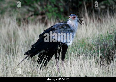 Secretary Bird poses in the grasslands of Samburu National Reserve, Kenya, East Africa. - Stock Photo