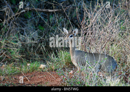 Kirk's Dik-dik spotted in the bushes in Samburu National Reserve - Stock Photo