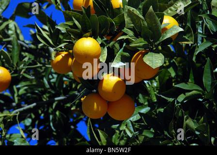 Seville orange tree, Riviera del Sol, Mijas Costa, Costa del Sol, Malaga Province, Andalucia, Spain, Western Europe. - Stock Photo