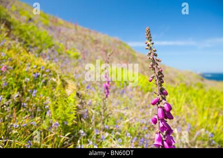 Wild flowers growing on the Cornish coast near St Just, UK. - Stock Photo