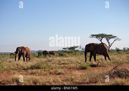 Elephants standing in the grasslands of Samburu National Reserve, Kenya Africa - Stock Photo