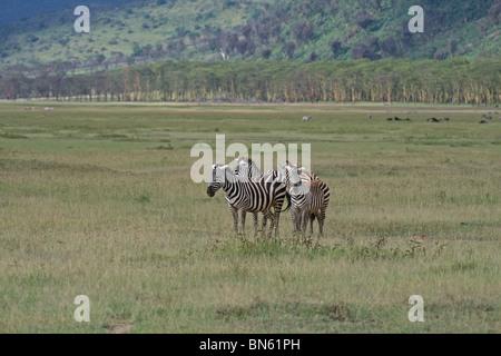 Plains Zebras portrait standing in Lake Nakuru National Reserve, Kenya, East Africa - Stock Photo