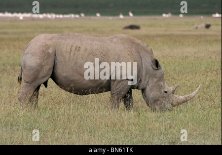 A White Rhinoceros grazing in Lake Nakuru National Reserve, Kenya, East Africa - Stock Photo