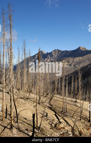 Remains of dead trees after a forest fire / burn, Idaho, USA - Stock Photo