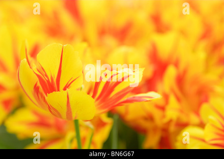 Yellow and red tulip in a flower bed - Stock Photo
