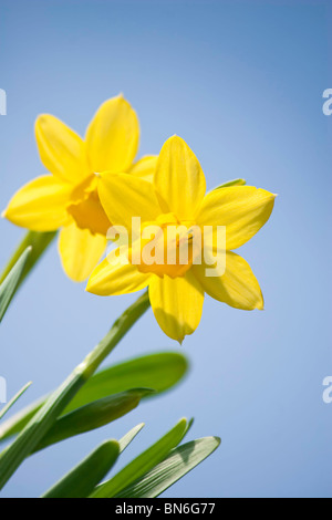 Daffodil Flowers with blue sky - Stock Photo