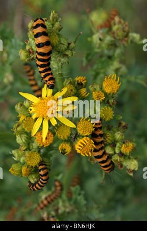 Cinnabar Moth Caterpillars Tyria jacobaeae Feeding On Ragwort At Martin Mere WWT, Lancashire UK - Stock Photo