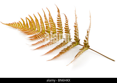 Single leaf of a Japanese Shield Fern - Stock Photo