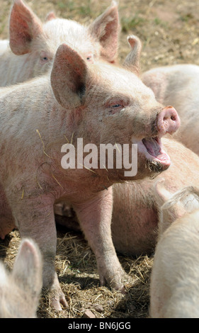 YOUNG PIGS AND PIGLETS AT A BRITISH FARM,UK - Stock Photo