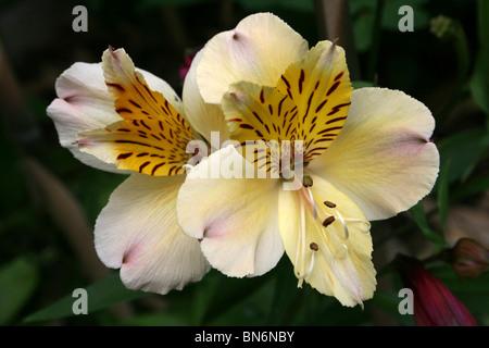 Peruvian Lily Alstroemeria aurea Taken At Martin Mere WWT, Lancashire UK - Stock Photo