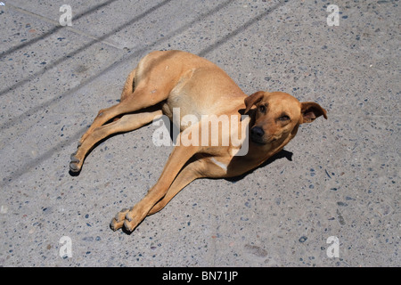 Dog lying on the sidewalk, Bucerias, State of Nayarit, Mexico - Stock Photo