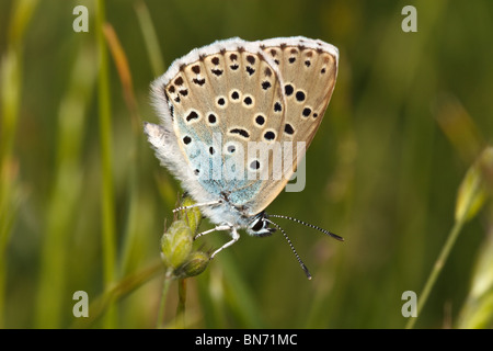 Female Large Blue butterfly( Maculinea arion), Collard Hill, Somerset, England, UK - Stock Photo