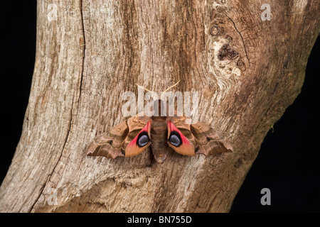 Eyed hawk-moth Smerinthus ocellat resting on tree showing eyes - Stock Photo
