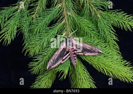 Privet hawk-moth Spinx ligustri resting on fir tree - Stock Photo