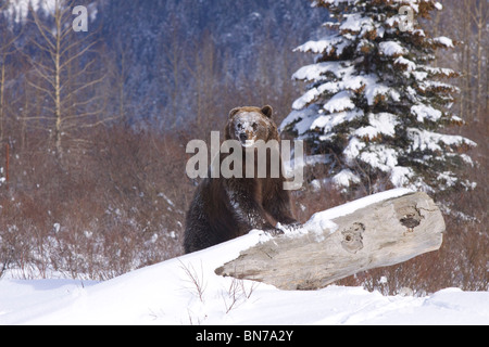 CAPTIVE: Grizzly during winter sits beside a log at the Alaska Wildlife Conservation Center, Alaska - Stock Photo
