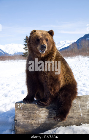CAPTIVE: Grizzly during winter sits on a log at the Alaska Wildlife Conservation Center, Alaska - Stock Photo