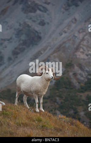 Dall Sheep standing on a ridge with mountain background, Mount Margaret, Denali National Park, Alaska - Stock Photo