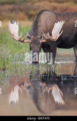 Bull moose walks through a pond in Denali National Park, Alaska - Stock Photo
