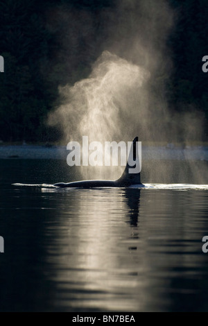 An Orca Whale exhales (blows) as it surfaces in Alaska's Inside Passage, Alaska - Stock Photo