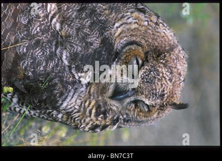 Immature Great Horned Owl near Sutton SC AK portrait - Stock Photo