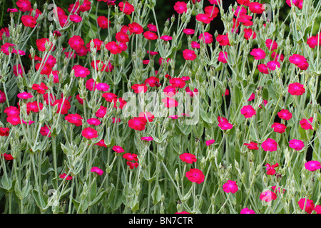 Rose campion red flowers Lychnis coronaria - Stock Photo