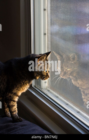 American Shorthair Cat looking out window with reflection. - Stock Photo