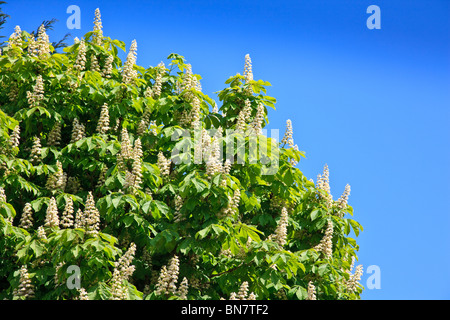 Horse Chestnut tree with bright green leaves, flowering candles with deep blue sky - Stock Photo