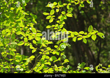 Bright green fresh Hazel leaves in English woodland - Stock Photo