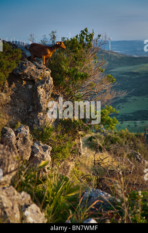 Goat on mountain top - Stock Photo