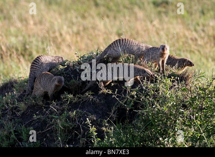 Banded Mongoose family on a termite hill in Masai Mara National Reserve, Kenya, East Africa - Stock Photo