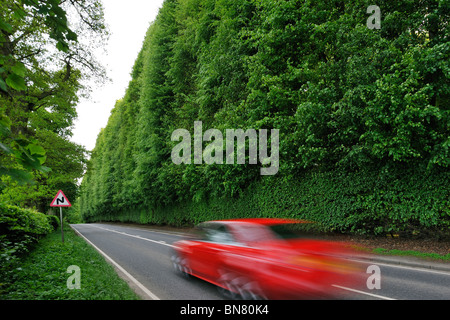 The Meikleour Beech Hedge (Fagus sylvatica), tallest and longest hedge on earth, Scotland, UK - Stock Photo