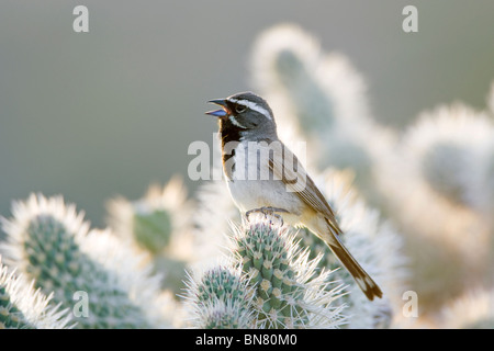 Black throated Sparrow singing on Cholla Cactus - Stock Photo