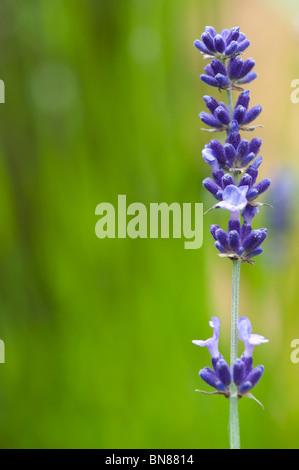 Lavandula. Lavender 'hidcote' flower head against green - Stock Photo
