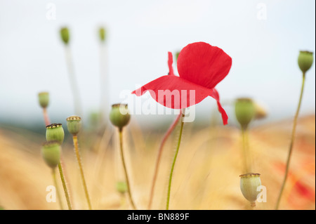Papaver rhoeas. Field poppy in amongst barley in a field in the English countryside - Stock Photo