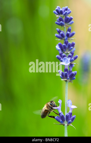 Honeybee feeding on lavender - Stock Photo